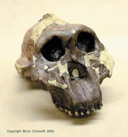 Australopithecus boisei (fa entre 1.5 i 2.5 milions d'anys)
