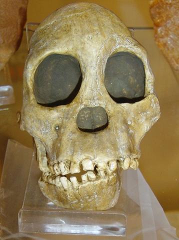 Australopithecus africanus (fa entre 2.5 i 3 milions d'anys)