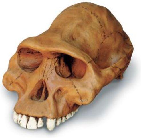 Australopithecus afarensis ( entre 3,9 i 2,9 m.a.)