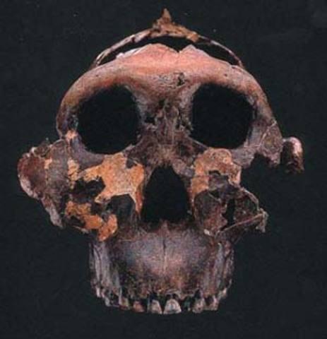 Australopithecus anamensis ( fa uns  4,2 - 3,9 m.a.)