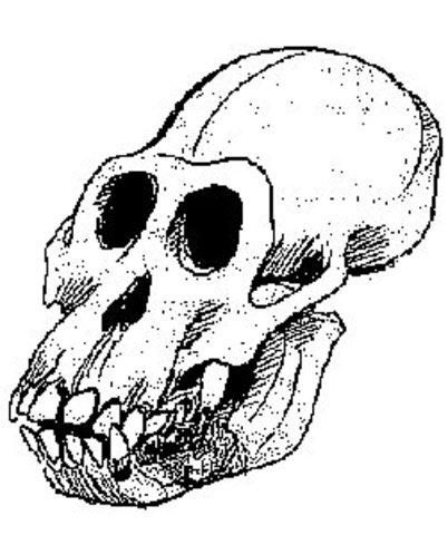 Australopithecus ramidus