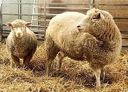 נוצרה הכבשה דולי, היונק המשובט הראשון בעולם