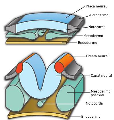 Formación de la placa neural