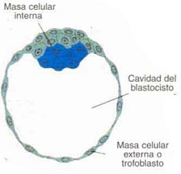 Día 6. Pared epitelial del blastocito.