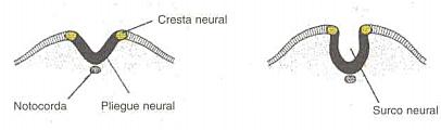 Día 21. Placa neural y  Surco neural