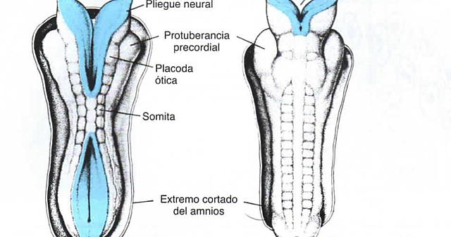 Día 27. Cierre de neuroporo posterior o caudal