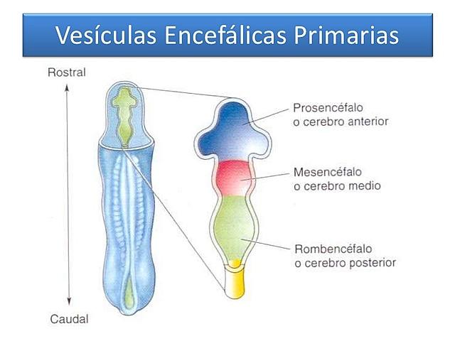 Vesícula Primaria Prosencefálica