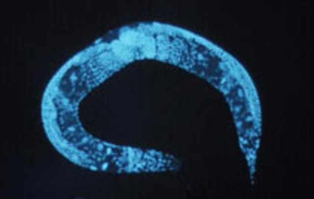 Worm Genome Sequence