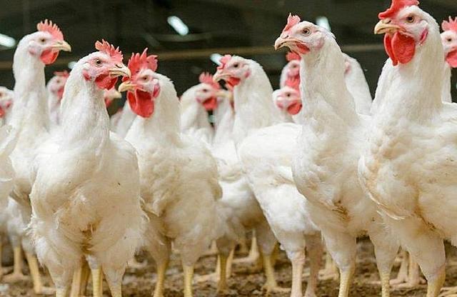 La OMC afirmó que la India quebrantó las normas de la OMC mediante el bloqueo de las importaciones de aves de corral