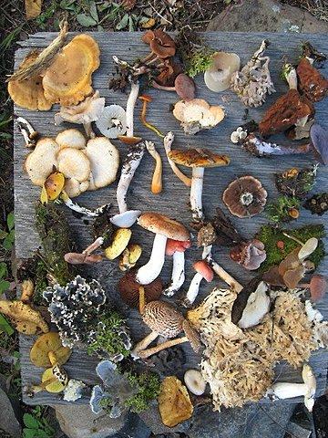 97,861 especies de hongos