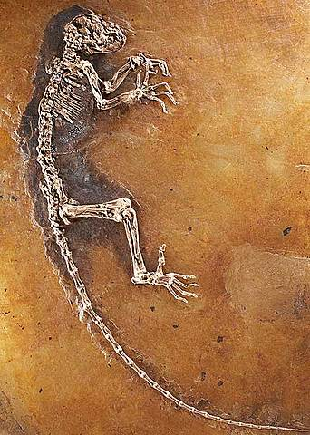 Evolució de mamífers