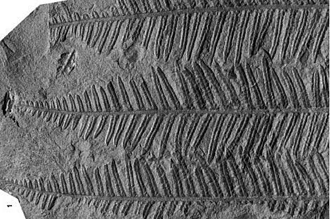 HELECHOS GIGANTES (paleozoico)