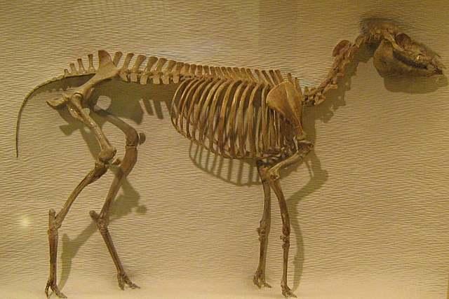 MESOHIPPUS (cenozoico)