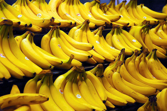 The first harvest of GM bananas in Australia.