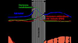 Ciclo menstrual timeline