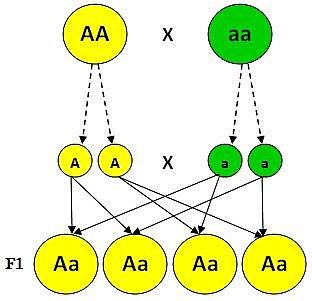 Redescubren las Leyes de Mendel