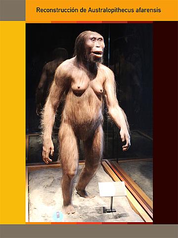 """""""Lucy"""" - Australopithecus Afarensis."""