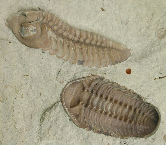 Cambrian - First organisms with shells
