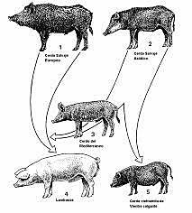 Domesticacion del cerdo en Europa