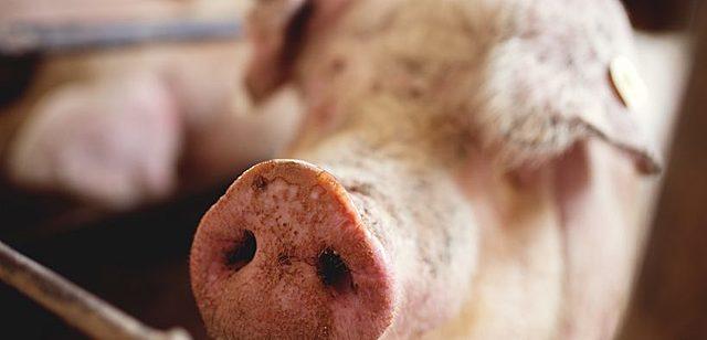 Porcicultura en mexico