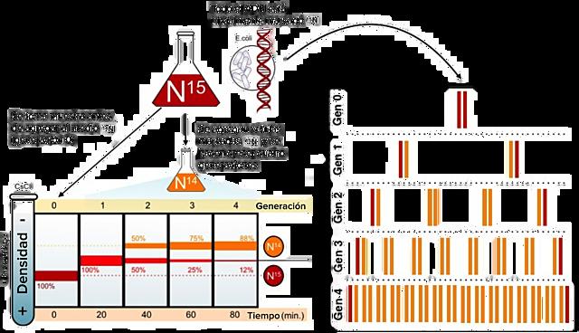 El experimento Meselson-Stahl demuestra que el ADN se replica de modo semiconservador.