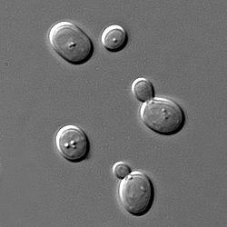 Primera secuenciación de un genoma eucariota: Saccharomyces cerevisiae.