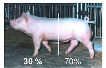 Evolución del cerdo de acuerdo a su producción