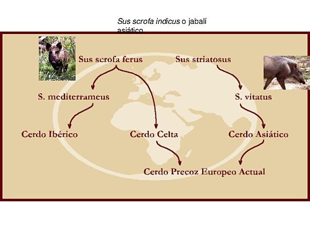 origen del cerdo A.C.