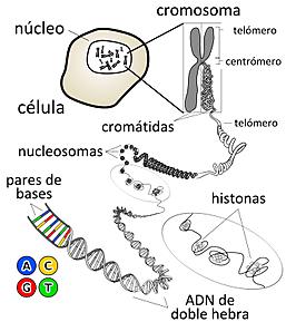 """""""Nace el término de Ácido Nucleico""""- Richard Altman"""