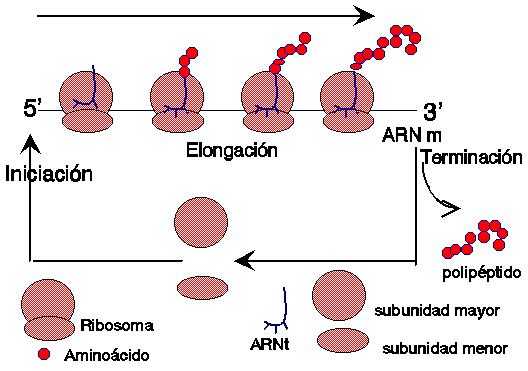 """""""Traducción del RNA"""" - Howard Dintzis"""