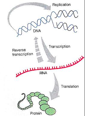 """""""Dogma Central de la Biología Molecular"""" - Francis Crick"""