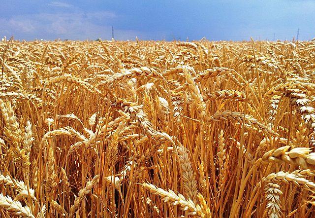 Cultivos de Arroz, Trigo, Sorbo, Maiz