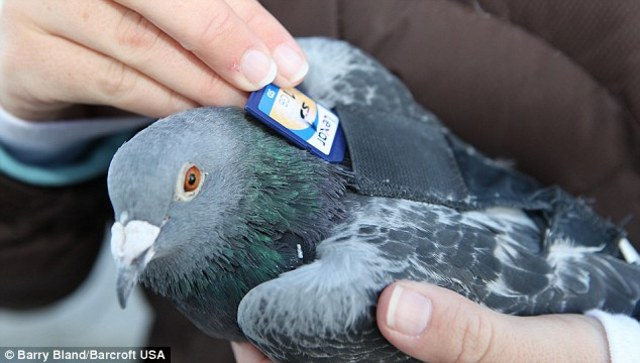 pigeons carry messages for olympic ancient greeks