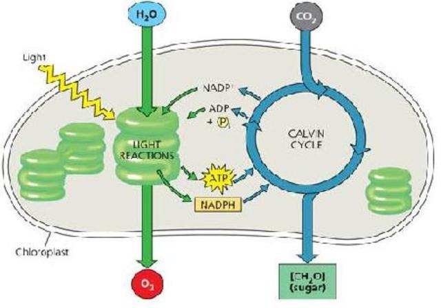 (3 BYA) Photosynthetic Organisms