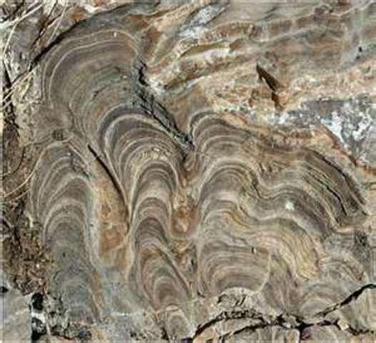 (3.5 BYA)  Stromalites arise