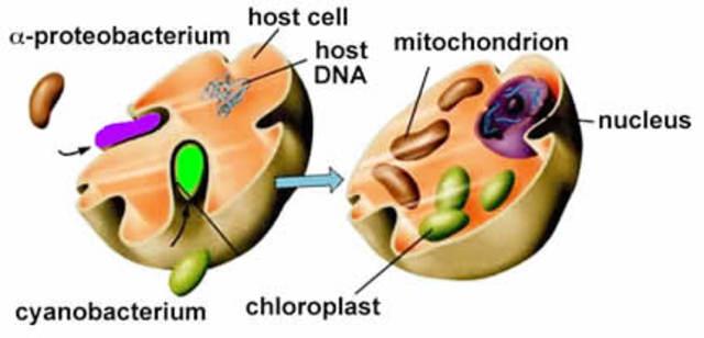 (2-1.5 BYA) Endosymbiosis Began