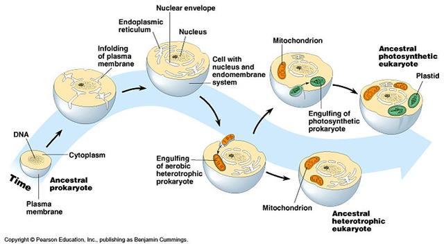(mid-1960's) Endosymbiosis
