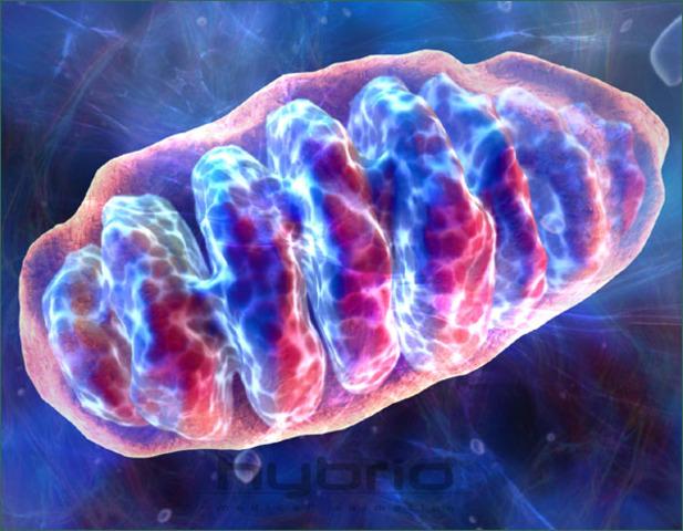 (1.5 Billion Years Ago) Mitochondria Formed