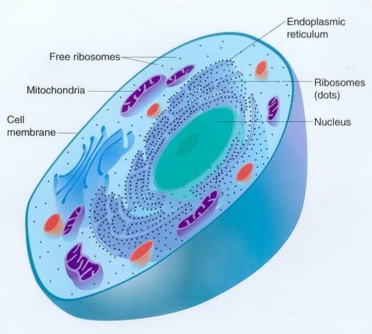 (2-1.5 BYA) Eukaryotes