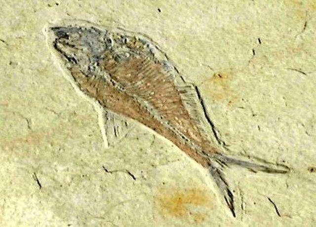 (1.8 billion years ago) Oldest Eukaryote Fossils