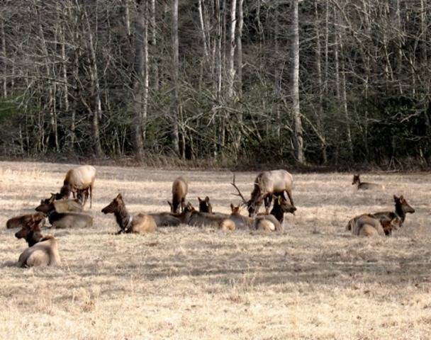 Elk reintroduced into Tennessee