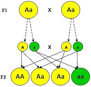 teoría de la evolución de la vida (Leyes de Mendel)