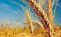 Subida del precio del trigo.(rev.francesa)