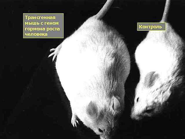 Первая трансгенная мышь