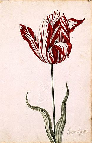 Tulpenblase