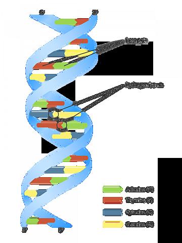 DNA-aren aurkikuntza