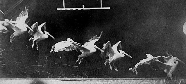 """Prof - Le mouvement / Etienne-Jules Marey - """"Pélican. Vol transversal descendant. Dix images par seconde, 1887"""" (Chronophotographie. Tirage sur papier albuminé. 14,8 x 8,5 cm)"""