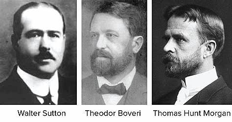 W. Sutton, T. Boveri i T. H. Morgan