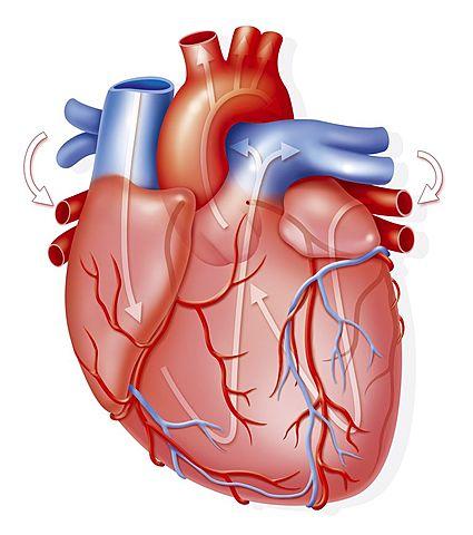 Se publica el Ensayo anatómico sobre el movimiento del corazón y la sangre en animales de William Harvey.
