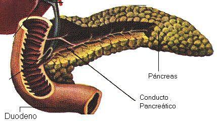 Paul Langerhans describió la glándula pancreática endocrina y dio nombre al tejido.